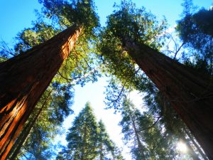 Looking up at the trees in Yosemite